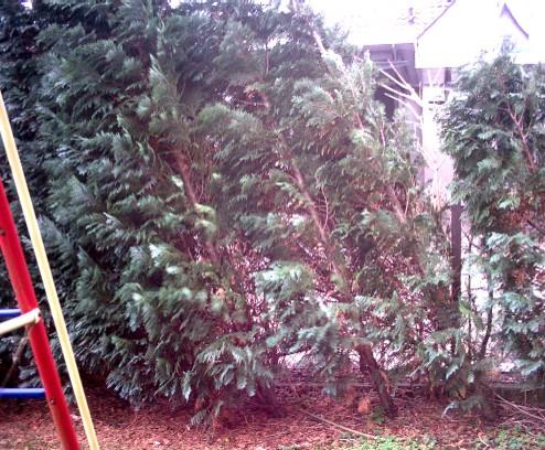 sturm kyrill hat 2 50 m hohe lebensbaumhecke thuja occidentalis entwurzelt haus garten. Black Bedroom Furniture Sets. Home Design Ideas